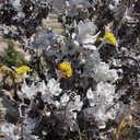 2013-05-23-Eriogonum-blooming-after-CSUCI-burn-IMG 0866