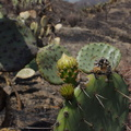 2013-05-23-Opuntia-blooming-after-CSUCI-burn-IMG 0871