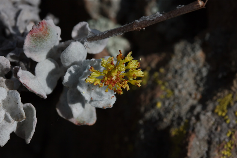 2013-05-23-Springs-Fire-Eriogonum-crocatum-Conejo-buckwheat-CSU Channel-Islands-IMG 7774