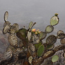 2013-07-29-Opuntia-prickly-pear-flowering-Chumash-IMG 2910