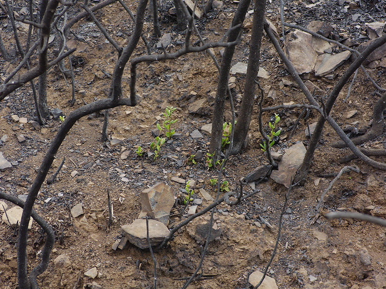 2013-07-29-indet-maybe-Ceanothus-stump-sprouting-Chumash-IMG 2913