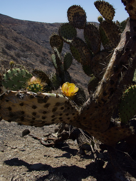 2013-08-21-Opuntia-prickly-pear-flowering-Chumash-IMG 2931