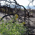 2013-12-24-Peritoma-arborea-bladderpod-stump-sprout-flowering-Chumash-IMG_3098.jpg