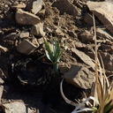 2013-12-24-Yucca-whipplei-side-sprout-on-burned-plant-Chumash-IMG 3109