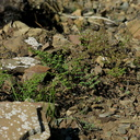 2014-03-11-Lotus-scoparius-deerweed-and-other-plants-after-rain-Chumash-Trail-IMG 3356
