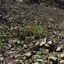 2014-03-11-monocots-probably-wild-hyacinth-sprouting-after-rain-Chumash-Trail-IMG 3335