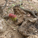 2014-03-25-Opuntia-littoralis-coast-prickly-pear-new-pads-Chumash-Trail-IMG 3403