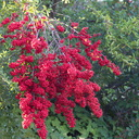 pyracantha-with-red-fruit-in-garden-near-Triunfo-Canyon-2012-12-19-IMG 7015