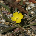 camissonia-campestris-mojave-sun-cup-near-S3-2008-02-17-img 6179