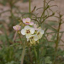 camissonia-claviformis-browneyed-primrose-palm-canyon-2008-02-18-img 6271
