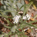 cryptantha-angustifolia-palm-canyon-2008-02-18-img 6253