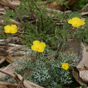 escholtzia-glyptosperma-desert-gold-poppy-palm-canyon-2008-02-18-img 6273