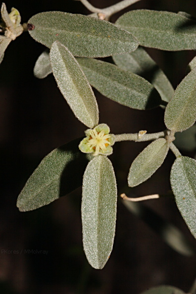 Croton-californicus-pistillate-Hawk-Canyon-2009-03-08-CRW 7909