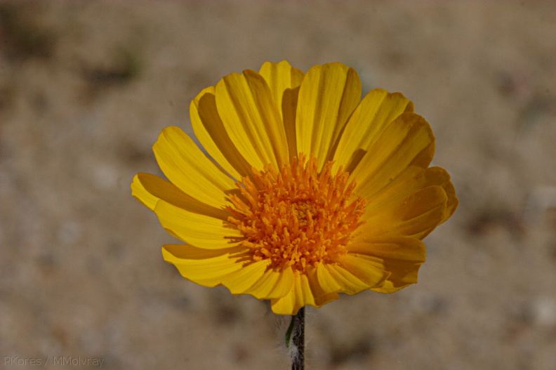 Encelia-farinosa-or-indet-brittlebush-Hawk-Canyon-2009-03-08-CRW 7948