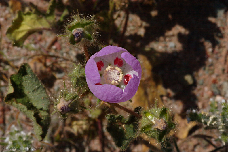 Eremalche-rotundifolia-desert-five-spot-Hawk-Canyon-2009-03-08-CRW_7919.jpg