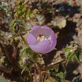 Eremalche-rotundifolia-desert-five-spot-Hawk-Canyon-2009-03-08-CRW 7921