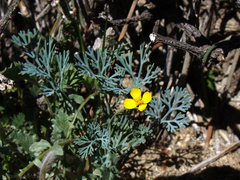 Eschscholtzia-minutiflora-little-gold-poppy-Mine-Wash-2009-03-06-IMG 1954