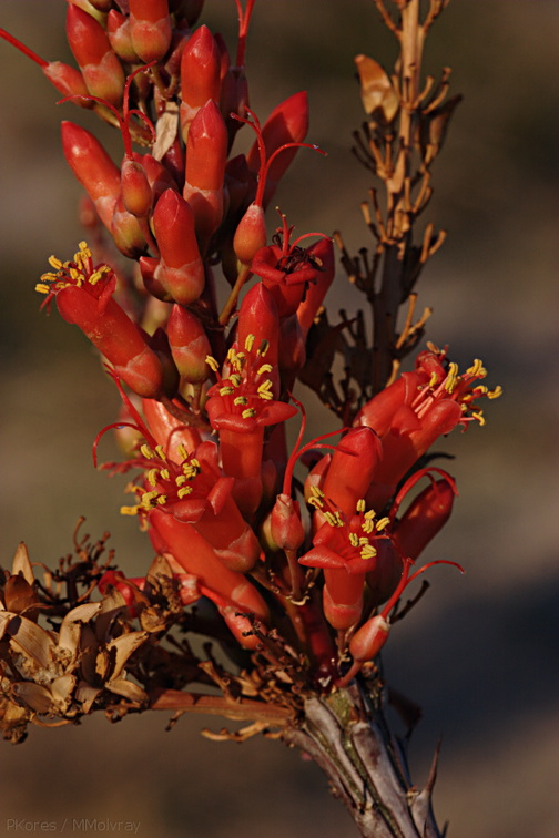 Fouquieria-splendens-ocotillo-Slot-Canyon-area-2009-03-07-CRW 7868