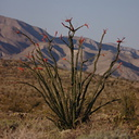 Fouquieria-splendens-ocotillo-Slot-Canyon-area-2009-03-08-CRW 7878