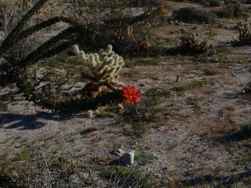 Fouquieria-splendens-ocotillo-and-teddybear-opuntia-Mine-Wash-2009-03-07-IMG 2090