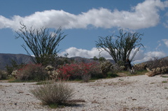 Justicia-californica-chuparosa-ocotillo-community-Mine-Wash-2009-03-06-IMG 1958