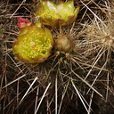 Opuntia-bigelovii-teddybear-cholla-Visitor-Center-2009-03-07-CRW 7801