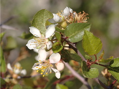 Peraphyllum-ramosissimum-wild-crab-apple-Mine-Wash-2009-03-06-CRW 7773