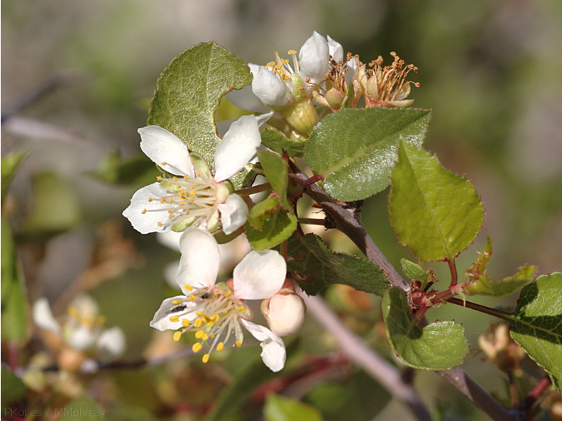 Peraphyllum-ramosissimum-wild-crab-apple-Mine-Wash-2009-03-06-CRW_7773.jpg