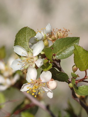 Peraphyllum-ramosissimum-wild-crab-apple-Mine-Wash-2009-03-06-CRW 7774