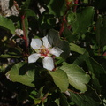 Peraphyllum-ramosissimum-wild-crab-apple-Mine-Wash-2009-03-06-IMG 2062