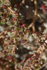 Prunus-fasciculata-desert-almond-Mine-Wash-2009-03-06-CRW 7749