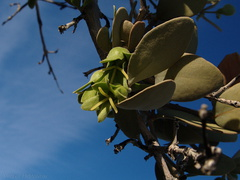 Simmondsia-chinensis-jojoba-pistillate-flowers-Mine-Wash-2009-03-06-IMG 1893