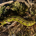 sphingid-caterpillar-Slot-Canyon-area-2009-03-08-CRW 7882