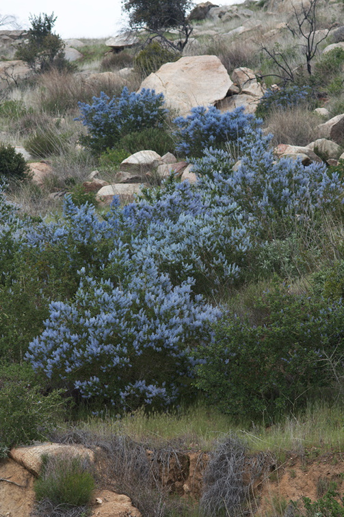 Ceanothus-sp-covering-rocky-slope-blue-flowered-Hwy78-nr-San-Felipe-Rd-Anza-Borrego-2010-03-30-IMG 0215