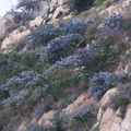 Ceanothus-sp-covering-rocky-slope-blue-flowered-Hwy78-nr-San-Felipe-Rd-Anza-Borrego-2010-03-30-IMG 0217