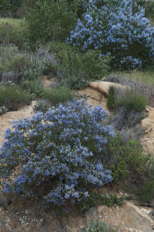 Ceanothus-sp-covering-rocky-slope-blue-flowered-Hwy78-nr-San-Felipe-Rd-Anza-Borrego-2010-03-30-IMG 0222