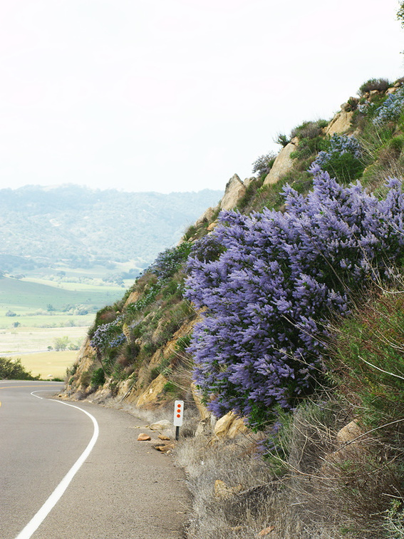 Ceanothus-sp-covering-rocky-slope-blue-flowered-Hwy78-nr-San-Felipe-Rd-Anza-Borrego-2010-03-30-IMG 4350