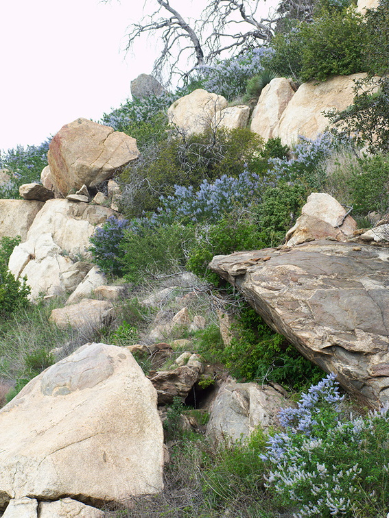 Ceanothus-sp-covering-rocky-slope-blue-flowered-Hwy78-nr-San-Felipe-Rd-Anza-Borrego-2010-03-30-IMG 4352