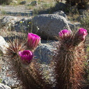Echinocereus-engelmannii-hedgehog-cactus-Mountain-Palm-Springs-Anza-Borrego-2010-03-30-IMG 4237