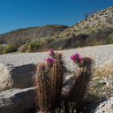 Echinocereus-engelmannii-hedgehog-cactus-Mountain-Palm-Springs-Anza-Borrego-2010-03-30-IMG 4257
