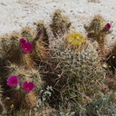 Echinocereus-engelmannii-hedgehog-cactus-around-blooming-barrel-cactus-S2-nr-Agua-Caliente-Anza-Borrego-2010-03-30-IMG 0184