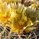 Ferocactus-cylindraceus-lecontei-barrel-cactus-Mountain-Palm-Springs-Anza-Borrego-2010-03-30-IMG 4217