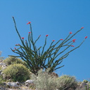 Fouquieria-splendens-ocotillo-flowering-Mountain-Palm-Springs-Anza-Borrego-2010-03-30-IMG 4279