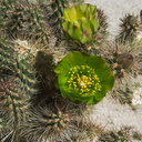 Opuntia-californica-snake-cholla-Mountain-Palm-Springs-Anza-Borrego-2010-03-30-IMG 4289