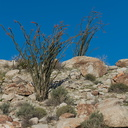 ocotillo-cactus-hillside-nr-camp-Mountain-Palm-Springs-Anza-Borrego-2010-03-30-IMG 0129