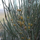 Ephedra-californica-desert-tea-cones-Blair-Valley-2011-03-18-IMG 7448