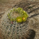 Ferocactus-cylindraceus-barrel-cactus-flowers-Hwy-S2-toward-Palm-Springs-2011-03-17-IMG 7402