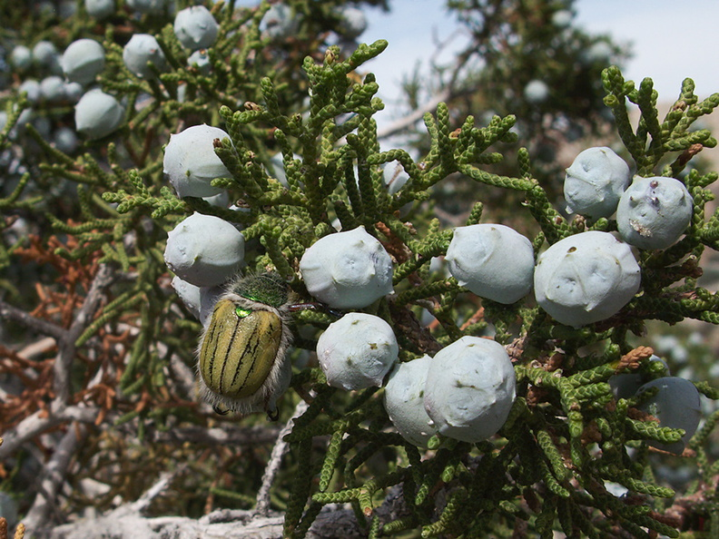 Juniperus-californica-cones-pictograph-trail-Blair-Valley-2011-03-17-IMG_7372.jpg