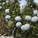 Juniperus-californica-cones-pictograph-trail-Blair-Valley-2011-03-17-IMG 7372