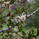 Larrea-tridentata-creosote-bush-fuzzy-fruits-Blair-Valley-2011-03-17-IMG 7315
